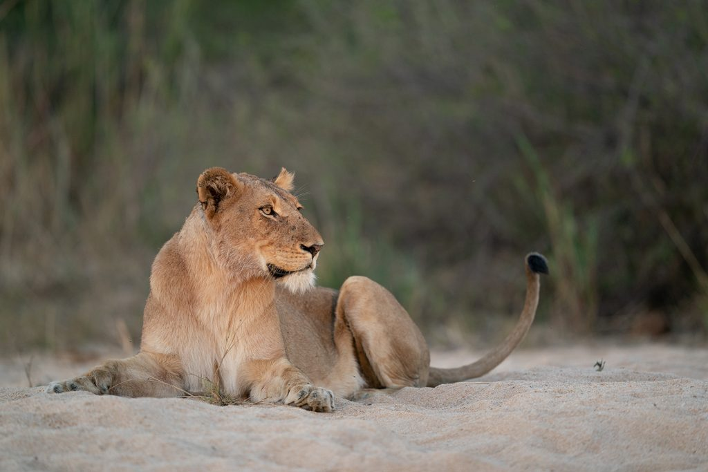 Lioness in the sandriver